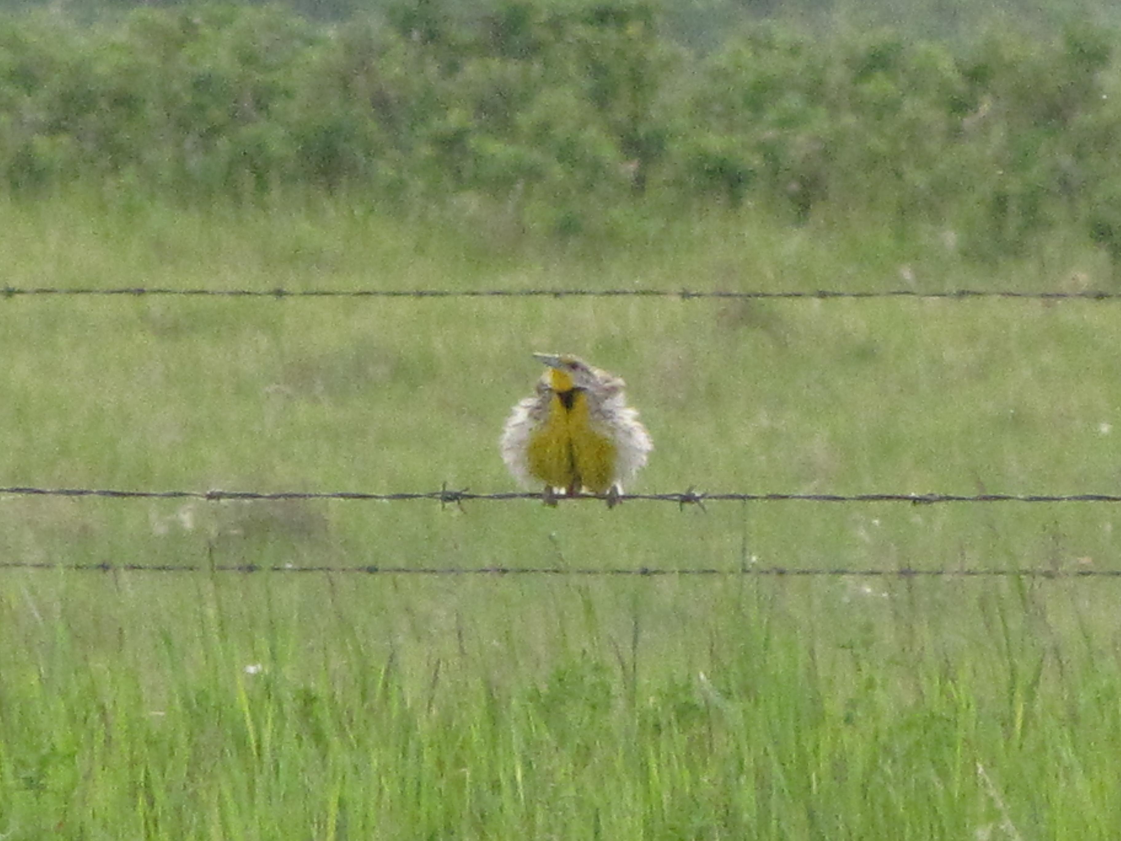 Western Meadowlark Prairie Birder
