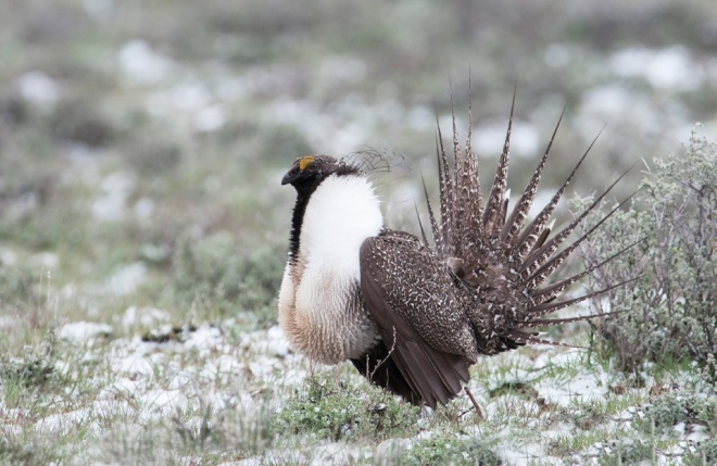 "Greater Sage-Grouse, photography by May Haga from ""The State of Canada's Birds 2012"""