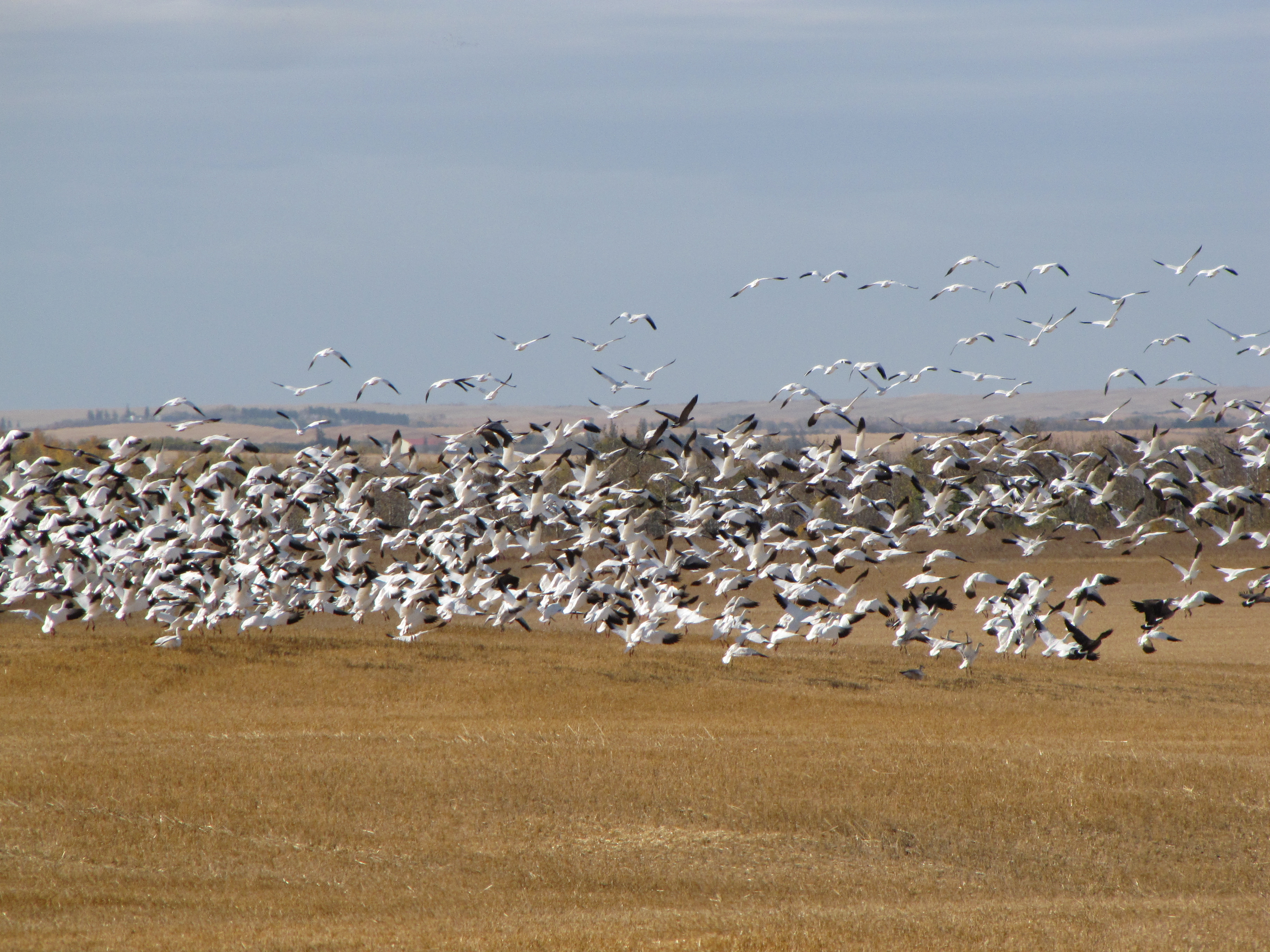 Canada Goose hats online fake - Alberta's First Spring Goose Hunt �C Prairie Birder