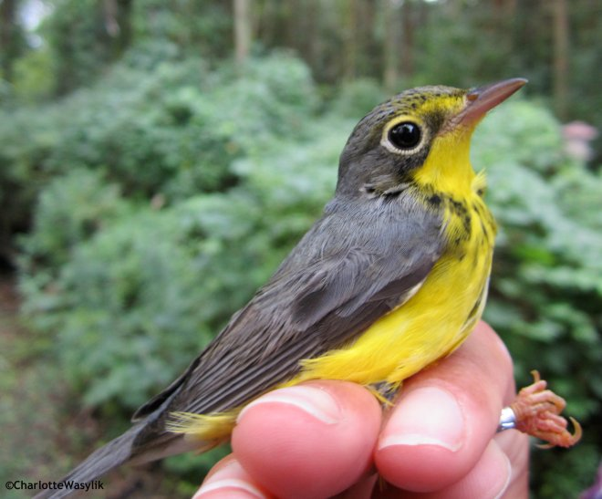 A Canada Warbler I photographed last August at the Young Ornithologists' Workshop at the Long Point Bird Observatory, Ontario, 2012