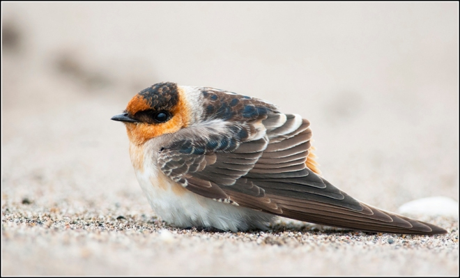 A Cave Swallow at Point Pelee (photo by Josh Vandermeulen)