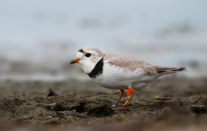A Piping Plover, Ontario (photo by Josh Vandermeulen)