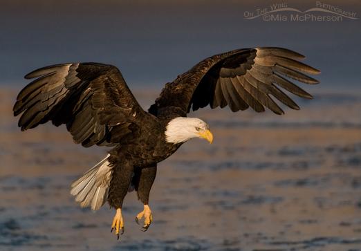 Bald Eagle landing on the  Bear River National Wildlife Refuge, Utah