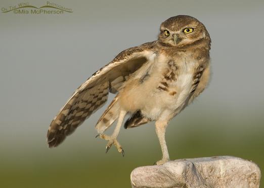 Juvenile Burrowing Owl stretching at Antelope Island State Park, Utah