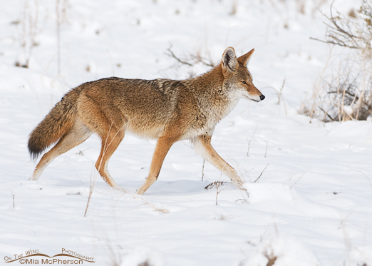Coyote in the Snow at  Antelope Island State Park, Utah