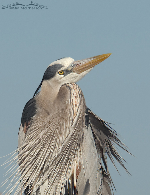 A Great Blue Heron at Fort De Soto County Park, Pinellas County, Florida