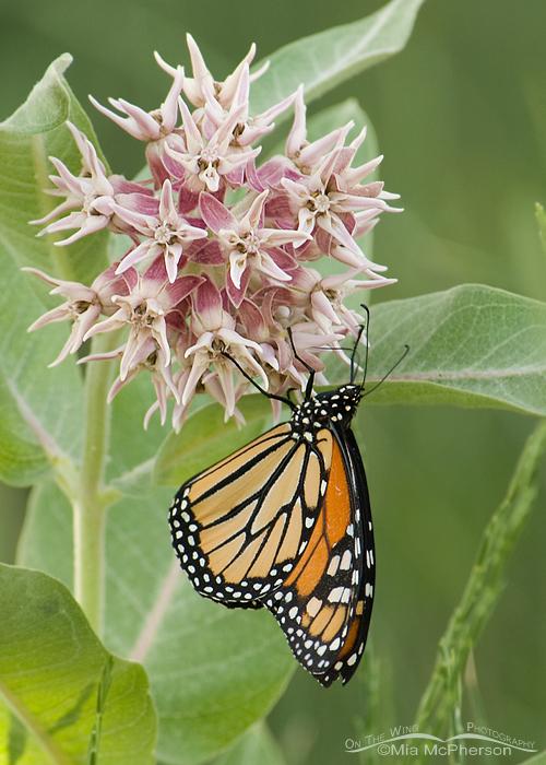Monarch Butterfly feeding from a Showy Milkweed, Antelope Island, Garr Ranch, Utah