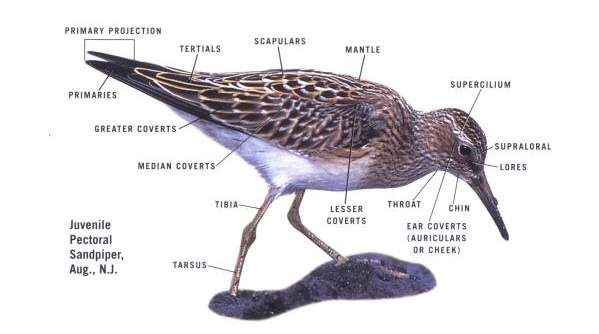 Theshorebirdguide