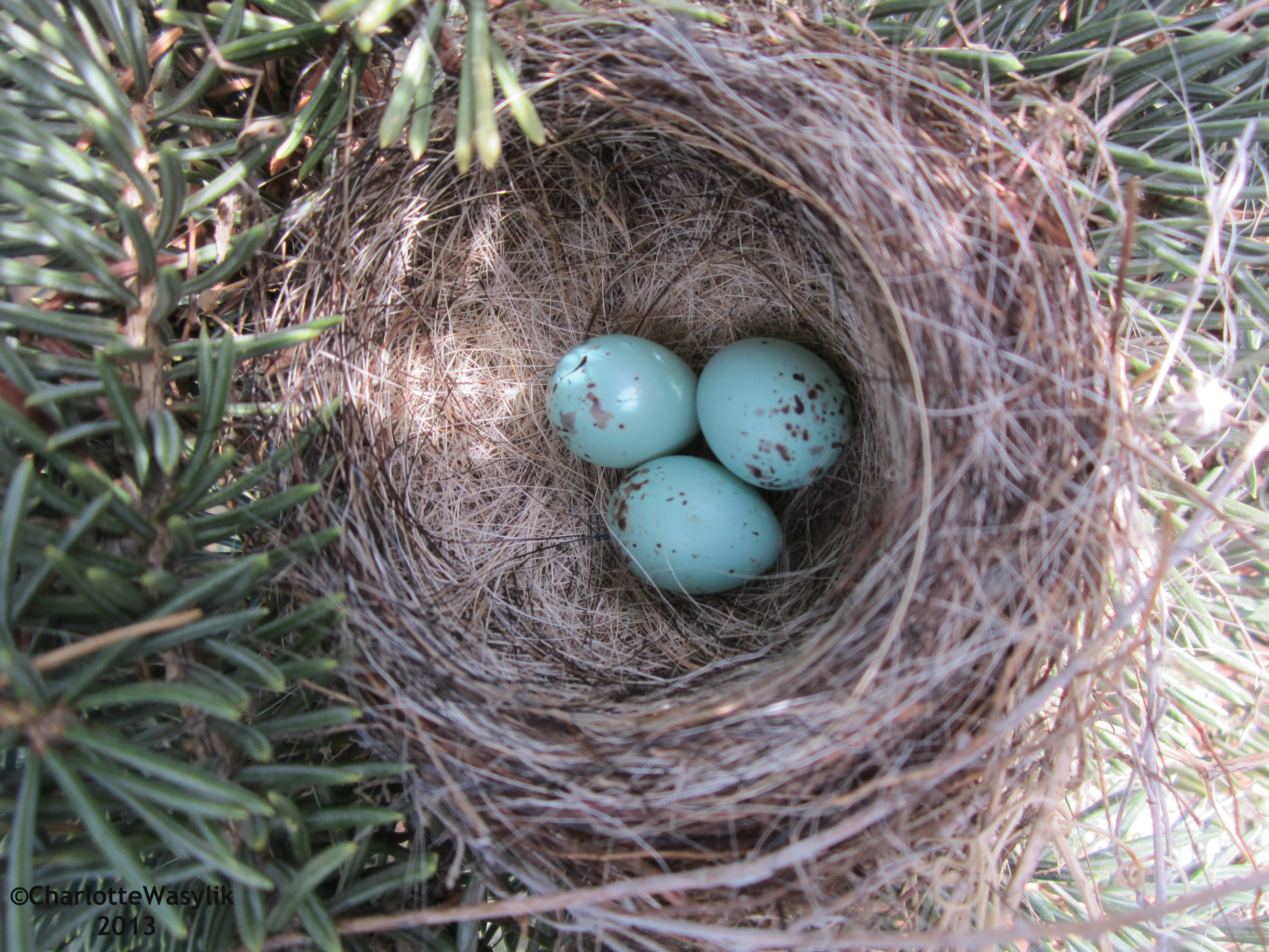 Purple Finch Nest Nests and eggs | Prair...