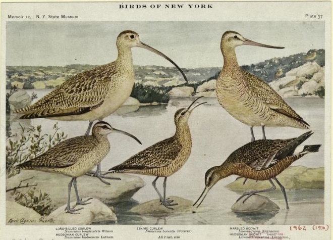 Eskimo Curlew (center), illustration by Louis Agassiz Fuertes