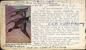 "A Mallard, from Viriginia's  1920s ""Bird Guide"", with her handwritten notes. Used with permission from Larry Eifert."