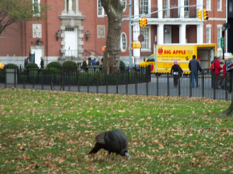 Zelda, a Wild Turkey in Battery Park, lower Manhattan, photographed in November 2009 by my mother; at the time, Zelda had lived in NYC for about six years