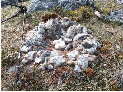 A Snowy Owl nest in northern Quebec in 2013 -- brought to the nest even before the eggs have hatched. (photo by J. F. Therrien
