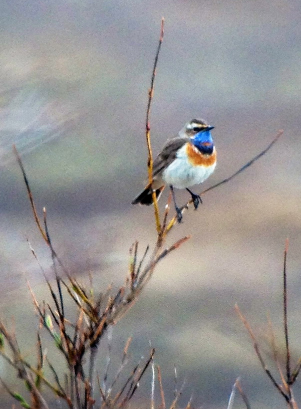 A Bluethroat, Alaska (photo by Neil Hayward)