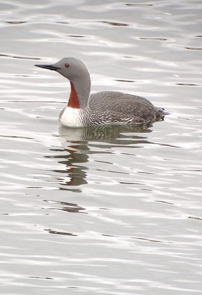 A Red-throated Loon, Alaska (photo by Neil Hayward)