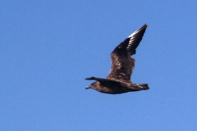 A Great Skua, North Carolina (photo by Neil Hayward)