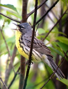 A Kirtland's Warbler, Michigan  (photo by Neil Hayward)