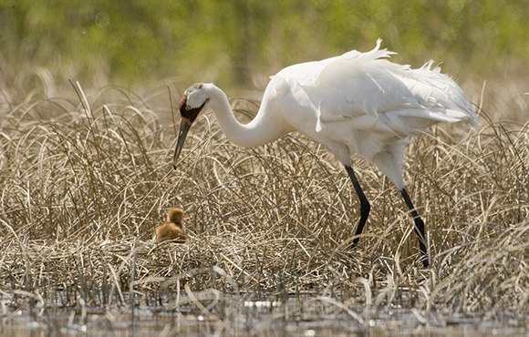 A Whooping Crane feeding a chick, at Wood Buffalo National Park. Photo by Klaus Nigge/ Parks Canada
