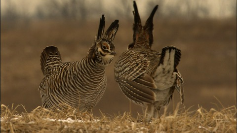 Male Greater Prairie Chickens confront. Photo credit: Tim Barksdale