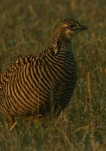 Female Greater Prairie Chicken. Photo credit: Tim Barksdale