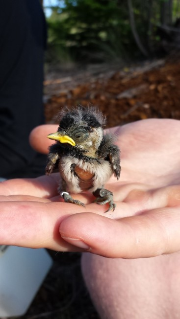 A 9 day old mountain chickadee nestling. By 9 days they are starting to look more like birds, their flight feathers are starting to erupt, and most of their body feathers are filling in. This little guy has a silver CWS band on his right leg so that we can re-identify him, and a PIT tag on his left leg so that we can track his movements.
