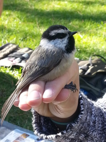 A mountain chickadee that we just finished banding.