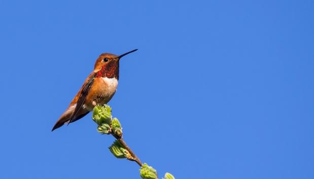 The Hummingbirds ofAlberta