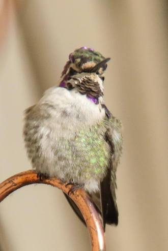 The Costa's Hummingbird that showed up at a feeder in Sherwood Park last fall. Photograph by Janice Hurlburt, used with permission.