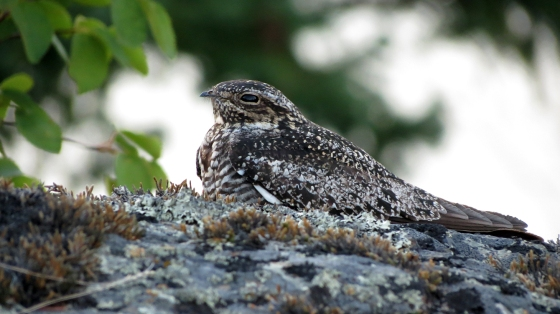 An adult Common Nighthawk. Photograph by Dwayne Gaschermann, used with permission.